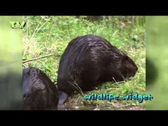 LibraryLook: Beavers - Bevers - YouTube
