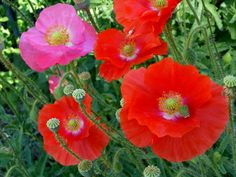 red 'Shirley' poppies,