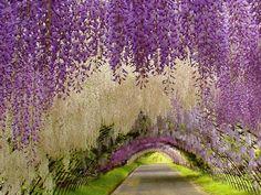 kawachi fuji garden wisteria tunnel