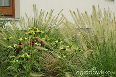 Ogród tworzę nowoczesny czyli wewnętrzna walka jak nie zostać kokoszką :) - strona 1124 - Forum ogrodnicze - Ogrodowisko Perennial Plant, Astilbe, Summer 3, Pool Ideas, Evergreen, White Flowers, Perennials, Magnolia, Peonies