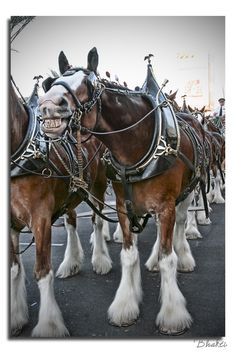 Budweiser Clydesdale   I absolutely adore these creatures. They are one of the most majestic and beautiful animals in the world. There is nothing like seeing them up close.