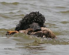 America's Best Hunting Dog Could be... a Poodle?
