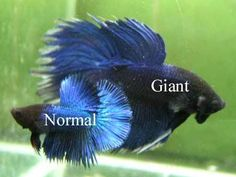 "Giant Betta vs Regular Sized Betta: Giants bettas were genetically developed by Thai breeders (Mr. Athapon Ritanapichad, Mr. Natee Ritanapichad and Mr. Wasan Sattayapun) from large regular green Plakats...most breeders say they reach about...4"" BO. Today giants come in all fin types. http://www.bettafish.com/showthread.php?t=99066"