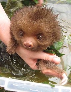 """A beautiful baby """"two-toed sloth""""."""