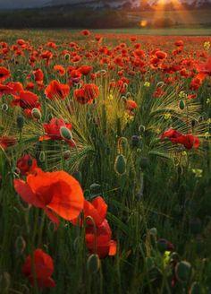 poppy field by Eva0707