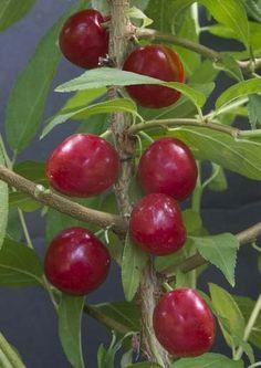 Bush Cherry 'Joel' (Prunus japonica x Prunus jacquemontii)