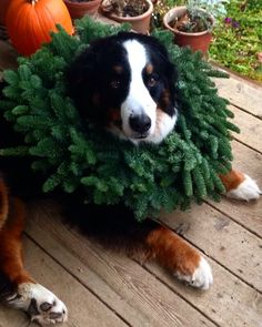 Christmas Bernese Mountain Dog
