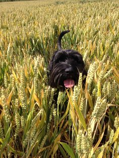 Rolf, my standard Schnauzer enjoying a run in the cornfields. I love his little pink tongue! Black Schnauzer, Standard Schnauzer, Giant Schnauzer, Bearded Collie, Fluffy Dogs, Adorable Dogs, Schnauzers, Old English, Westies