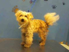 ~ Animal ID #A1317098 ‒ I am a Male (Neutered), White Toy Poodle mix. The shelter thinks I am about 7 years old. I have been at the shelter since May 09, 2015. City of Houston, BARC Animal Shelter & Adoptions Telephone ‒ (713) 229-7300 2700 Evella Street Houston, TX Fax: (713) 238-2189 https://www.facebook.com/OPCA.Shelter.Network.Alliance/photos/pb.481296865284684.-2207520000.1431287743./820137508067283/?type=3&theater