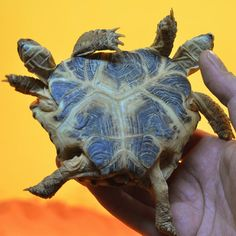 "A five-year-old steppe turtle with two heads and six paws is held up for a photograph at the Science History Museum in Kiev. The Ukrainian born reptile with a heart-shaped shell, two hearts but only one intestine, is being displayed at an exhibition called Live Dragons. Organiser Dmitry Tkachev said that the two heads can't see each other: ""Each has its own character, so they often want to crawl in different directions."" Sergei Ryabov, reptile expert, said each head has its own favourite…"