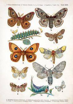 European Butterflies platefrom 'Europas bekannteste Schmetterlinge. Beschreibung der wichtigsten Arten und Anleitung zur Kenntnis und zum Sammeln der Schmetterlinge und Raupen' (circa. 1895), F. Nemos.