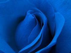 blue rose macro by atomicshark, via Flickr