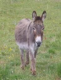 Donkeys are not Horses! Alternative Medicine for Donkeys incl. donkeys, mules, hinnies If you wish, go straight to the DISEASES list Homeopathy – Herbs – Acupuncture […] Like Animals, Animals Images, Animal Pictures, Giraffe, Elephant, Almost Always, Dolphins, Deer, Cow