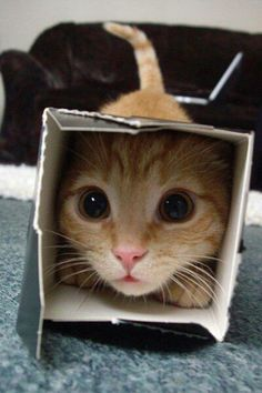 Gato dentro de un cartón de leche Cat