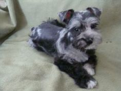 Please please pleasr for christmas? Blue Merle Schnauzer - A Miniature Schnauzer mixed with a Miniature Australian Shepherd. The new exotic designer breed, introduced in 2006. Such a cute puppy!