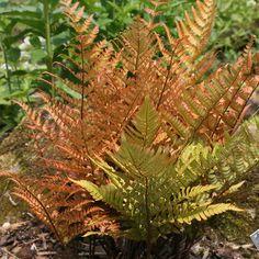 Autumn Fern - Dryopteris erythrosora is a perennial evergreen, herbaceous fern. Fern Frond, Tree Fern, Fern Plant, Trees To Plant, Ferns For Sale, Deer Proof Plants, Evergreen Ferns, Autumn Fern, Woodland Plants