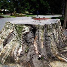 Christchurch Stump. One heckuva huge hunk of stump kept by Kiwis in the Christchurch Botanical Gardens.