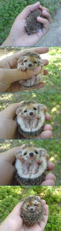 I want a hedgehog