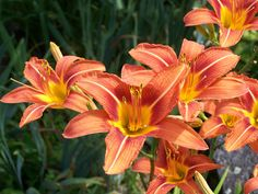 View picture of Orange Daylily, Tawny Daylily, Ditch Lily (Hemerocallis fulva) at Dave's Garden. All pictures are contributed by our community. Plants, Garden, Seeds, Colorful Flowers, Day Lilies, Lily