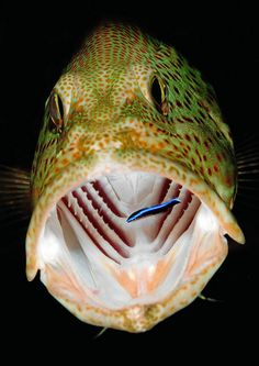 Grouper is being cleaned by a cleaning fish (award winning image) Rebecca van den Heuvel via Rebecca van den Heuvel onto Underwater World Underwater Images, Underwater Life, Underwater Photography, Amazing Photography, Underwater Creatures, Ocean Creatures, Life Under The Sea, Foto Poster, Sea Fish
