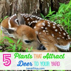 Most gardeners spend a lot of time trying to figure out how to keep deer out of their gardens, but there are some of us that want to attract deer to our yard. Watching wildlife as it moves through your yard is exciting, especially for little ones, and deer are always looking for their next{Read on...}