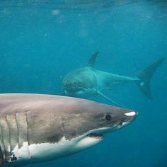 A pair of Great White Sharks Save The Sharks, All Sharks, Orcas, Shark Pictures, Shark Images, Shark Jaws, Life Under The Sea, Shark Bites, Deep Sea
