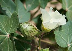 Photo of cotton.