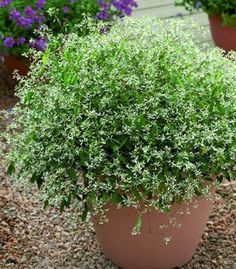 Euphorbia 'Gloria'.   A compact, mound-forming annual (in Idaho), with white flowers on slender stems...blooms from late spring into fall.  Nice container plant!