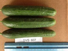 Gvs 607 Persian Cucumber, Trials, Zucchini, Vegetables, Vegetable Recipes, Veggies