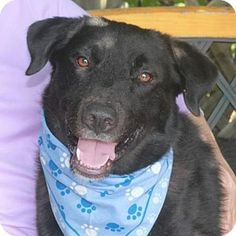 Garfield Heights, OH - Labrador Retriever Mix. Meet Bogart, a dog for adoption. http://www.adoptapet.com/pet/16307233-garfield-heights-ohio-labrador-retriever-mix
