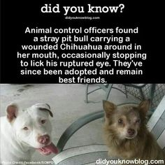 Pit Bull Dogs Animal control officers found a stray pit bull carrying a wounded Chihuahua around in her mouth, occasionally stopping to lick his ruptured eye. They've since been adopted and remain best friends. I Love Dogs, Puppy Love, Cute Dogs, Funny Dogs, Funny Animals, Cute Animals, Baby Animals, Pit Bull Love, Animal Control