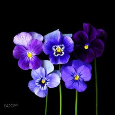 YOU GOT ME SINGING THE BLUES - Viola is a genus of flowering plants in the violet family Violaceae, with around 400–500 species distributed around the world. Most species are found in the temperate Northern Hemisphere, however viola species (commonly called violets, violettes, pansies) are also found in widely divergent areas such as Hawaii, Australasia and the Andes in South America.The flowers, leaves and roots of various Viola species are used for medicinal purposes, being rich in…
