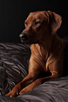 """""""Polkka 4"""" by Janne Kaakinen on 500px - Dog Portrait of a Rhodesian Ridgeback"""