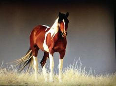 @ridingcoach @dilyzovuros @smilelily520 Yhe paint my faverit type of horse