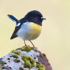 Little Birds, Love Birds, Beautiful Birds, Animals And Pets, Baby Animals, Cute Animals, Extinct Birds, Clay Birds, Nz Art