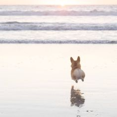Geordi La Corgi runs, er, flies to the ocean. Love those little legs!
