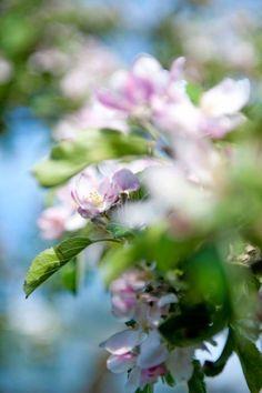 EVA SKAPADE ETT HÅLLBART TRÄDGÅRDSBRUK: Gångar, en stengärdsgård och fina häckar skapar en skön struktur i Evas trädgård. Allt anpassat efter tomtens nio vackra gamla äppelträd av sorten ´Belle de Boskoop´ som blommar i ljuvt rosa | Lantliv