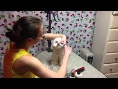 This tutorial shows how to trim around a dogs eyes to remove hair from the eyes. It also shows how to eliminate stains from under the eyes on a maltese. Maltipoo Haircuts, Dog Haircuts, Maltese Haircut, Puppy Haircut, I Love Dogs, Puppy Love, Yorkie Terrier, Dog Suit, Dog Grooming Tips