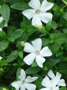 Vinca minor 'Gertrude Jekyll' - Weißes Immergrün halbschatten