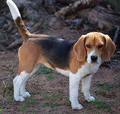 beagle legs | Originally Posted by Kaida