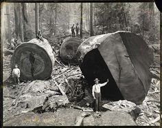 Logging. huge trees such as these were common in what became southeastern kentucky, southwestern virginia, and west viriginia. these trees had grown here for hundreds of years before the lumber barons of the late 1800s came and cut them all down.