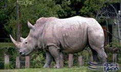 حملة مكثفة لمطاردة صائدي وحيد القرن والفيلة…: شنت هيئة حماية الحياة البرية فى كينيا حملة مكثفة لمطاردة صائدى وحيد القرن والفيلة، بسبب القلق…