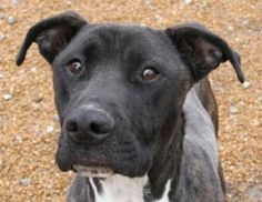 Petango.com – Meet Anderson, a 4 years 9 months Boxer / Mix available for adoption in ALTON, IL Contact Information Address ALTON, IL, 62002 Phone (636) 212-0363 Website http://www.hoperescues.com Email admin@hoperescues.com