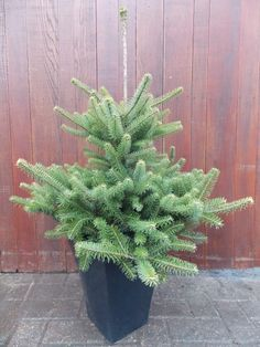 Midi #Christmas Trees - Picea glauca Conica - Ideal for Table ...