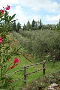 Olive Trees at Podere Erica Tuscany