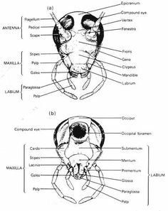 diagram of the external anatomy of a typical insect | STORY NARRATIVE | Insect anatomy, Insects