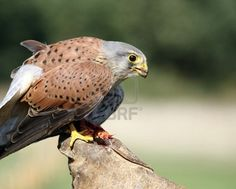 a stunning kestral photograph for sale on 123rf.com stock site