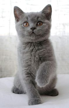 British shorthair blu, 3 months