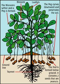 how peanuts grow. I always thought the roots is where they grew.Crazy how peanuts grow. I always thought the roots is where they grew. Edible Garden, Vegetable Garden, Garden Plants, Permaculture, Organic Gardening, Gardening Tips, Vintage Gardening, Growing Peanuts, Peanut Tree