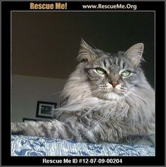 — California Maine Coon Rescue — ADOPTIONS — RescueMe.Org